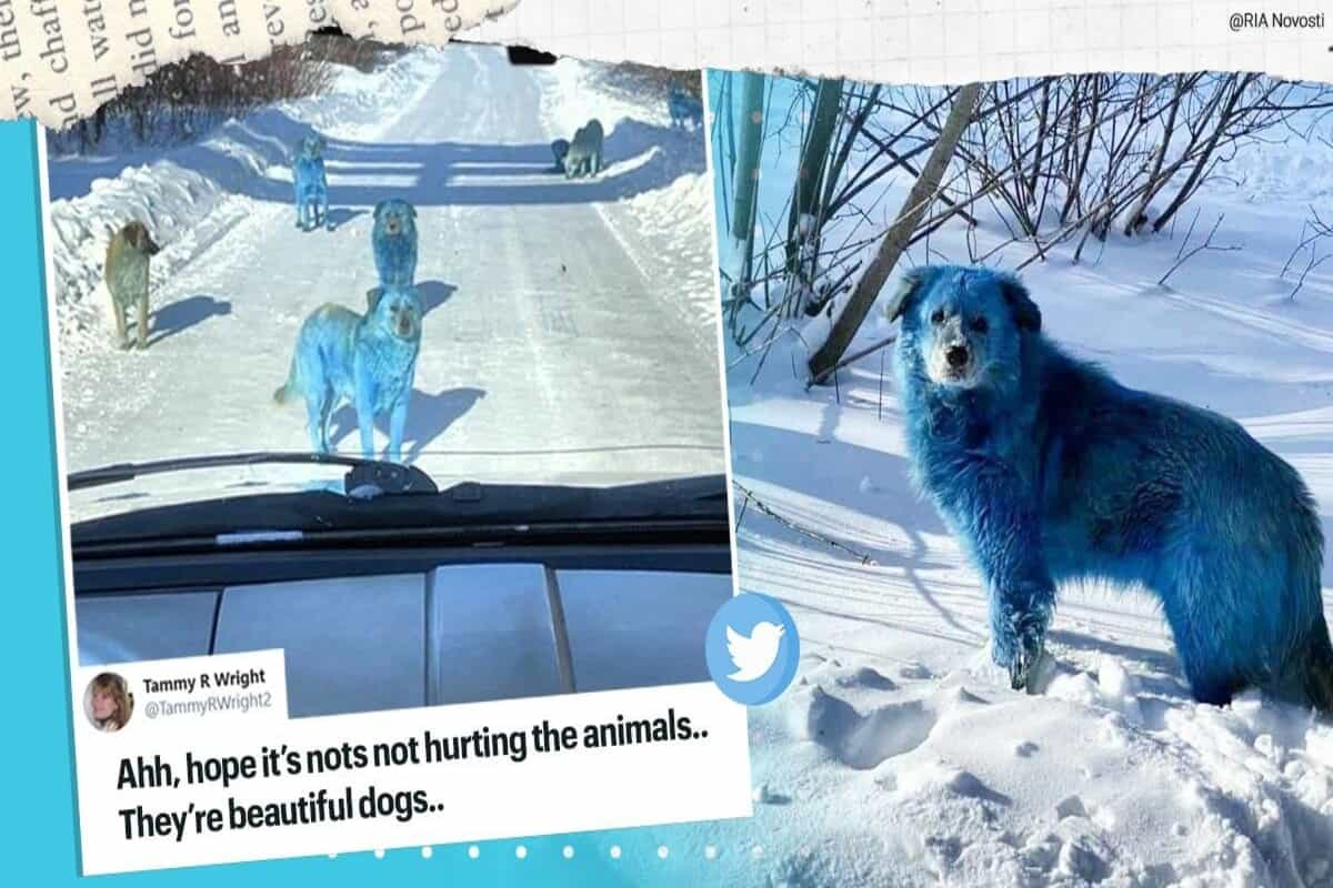 Smurfs or Avatar? : Pack of stray dogs with bright blue fur spotted in Russia